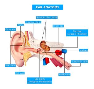 anatomy-ear-27154624